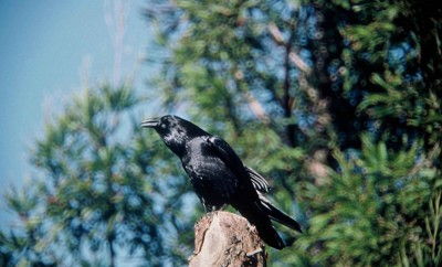raven-bird-in-wild-corvus-corax